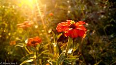 La falda, Cordoba (Arcluster) Tags: flor flower flora sunset sunray lovely cute breathtaking incredible macro brilliant grass nature cordoba