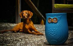 The Eyes Have It - Bozeman, MT (j-rye) Tags: sonyalpha sonya6000 sony a6000 ilce6000 mirrorless bozeman montana vizsla viszla dog stoneware deck lkg240