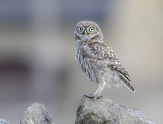 little Owl (Nigey2) Tags: owl owls northumberland littleowl bird birds