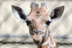 2018-08-01 (silare) Tags: food chewing eating lulu child daughter baby young animal reticulatedgiraffe giraffe giraffacamelopardalisreticulata zoo woodlandparkzoo seattle washington