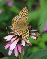 Fritillary (Treflyn) Tags: silverwashed fritillary butterfly yeldall manor hare hatch berkshire
