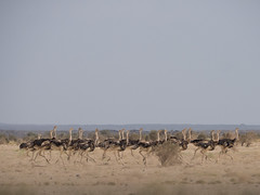 Flocked (Magic Pea) Tags: photo photography magicpea ethiopia travel africa eastafrica ostrich wild ertaale landscape nature ostriches flock