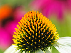 Echinacea (Brett of Binnshire) Tags: flowers binnshire usa hancockcounty gouldsboro maine plants locationrecorded echinacea macro