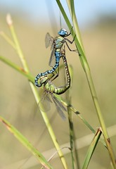 Southern Migrant Hawker (Aeshna affinis) - mating pair (willjatkins) Tags: wildlife animal matingdragonflies nature insect insects dragonfly dragonflies dragonfliesincopulation incop southernmigranthawker aeshna aeshnaaffinis migrantdragonfly rarewildlife rarespecies odonata essexodonata essexwildlife dragonfliesofessex essexdragonflies dragonfliesanddamselflies ukdragonflies ukdragonfly ukdragonfliesanddamselflies closeupwildlife closeup macro macrowildlife nikond610 nikon sigma105mm summerwildlife aquaticlife pondlife ditches wildlifeofditches