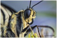 Schwalbenschwanz soeben geschlüpft,  trägt Pelz (Sonnenblume♥) Tags: schwalbenschwanz schmetterling papiliomachaon