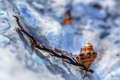 The Art Of Nature (red stilletto) Tags: phillipisland basscoast shelleybeach shell shells sea ocean macro bokeh seaweed