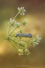 Papilio machaon - Linnaeus 1758 (fabrizio daminelli ) Tags: papiliomachaon linnaeus1758 papilionidae lepidoptera lepidottero farfalla butterflies butterfly canon fabriziodaminelli insect insetto macro natura nature wild wildlife tamron