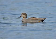 Happy Cruising... (Anirban Sinha 80) Tags: nikon d610 fx 500mm f4 ed vrii n g 17xtc 850mm bird duck gadwall water wetland natural portrait bokeh