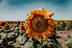 August 11, 2018 - The heat takes its toll on a sunflower. (Jessica Fey)