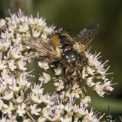 Tachina fera (prajpix) Tags: wood woodland forest fly diptera tachnid insect bug macro closeup nature highlands scotland wild wildlife umbellifer macromondays