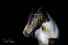 Portrait of Lexie (tony_shaw60) Tags: horse cob lowkey portrait equine equineportrait canon5dsr 5dsr 70200mmf28l f28
