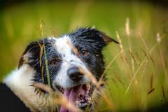 That little bit 'Special' (JJFET) Tags: border collie dog dogs sheepdog herding