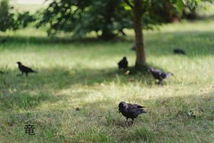 black birds eating from grass (Ola 竜) Tags: birds grass tree park shadowplay sunlight green greenery bird black pigeons jackdaw jackdaws rooks crows crow rook fauna flora lowpov bokeh manualfocus helios44m4 fujifilmxt10 dof