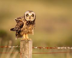 Short-eared owl (Photobirder) Tags: shortearedowl nuist outerhebrides scotland