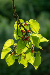 Mulberry tree branch with fruit (Ian Redding) Tags: morus mulberry nature european fruit moraceae horticulture mulberries deciduous growing red garden unripe backlit berries flora tree fruits bath british leaves black park ripening immature uk branch