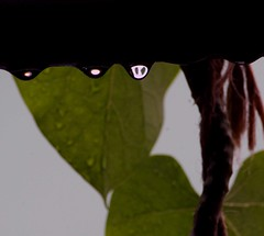 DSC_1872 (rajashekarhk) Tags: rain rains drop rainwater blue bengaluru waterdrops green gardencity greenery colours transparent bluesky karnataka mansoonrain mansoon nikon nature natural naturephotography rajashekar hkr