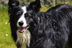Smile (ASHA THE BORDER COLLiE) Tags: smile mother teresa quote border collie dog happy beautiful ashathestarofcountydown connie kells county down photography