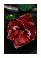 2018-07-30_12-28-37 (danielafosci) Tags: flowers fiori rosso natura canon macro colorful plants pastel