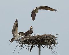 Osprey Test Flight (ftherit) Tags: osprey birds nature flight canon 1dx ii 600mm