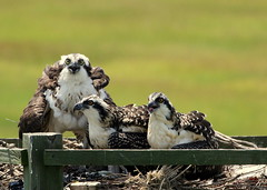 PARENTING: If you feel crazy, then you're doing it right! (Judecat (back on the farm)) Tags: nature wildlife new jersey newjerseywildlife ospreychicks ospreychicksinnest opsreynest osprey