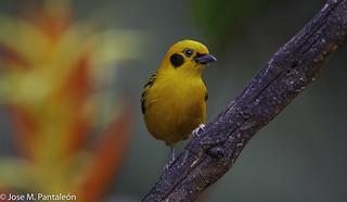 1-La Tangara Dorada (Tangara arthus) como su nombre lo indica se caracteriza por tener un color amarillo casi dorado. Es un ave bastante común en Colombia. El epíteto arthus se acuñó como reconocimiento al editor francés Arthus Bertrand.