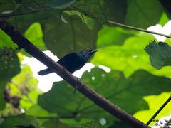 P8050112 (gprana) Tags: aplonispanayensis asianglossystarling bird bukitbrowncemetery district11 em5 micro43 microfourthirds novenaplanningarea olympus olympusmzuikodigitaled75300mmf4867ii olympusomdem5 singapore m43