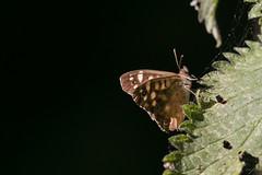 Speckled Wood-2864 (WendyCoops224) Tags: 100400mml 80d butterflies canon eos localbirdswildlife ©wendycooper speckled wood