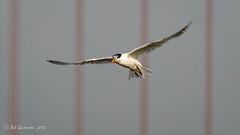 Elegant Tern - banded (Bob Gunderson) Tags: aerialwaterbirds birds california crissyfield eleganttern northerncalifornia presidio sanfrancisco terns thalasseuselegans