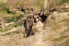 Sand Martin and chicks (billywhiz07) Tags: sand martin colony scotland chicks young feeding