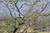 Great Tit (Myrialejean) Tags: greattit bird avian feathers tree garden