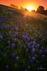 Tangerine Blue (Rajesh Jyothiswaran) Tags: blue bluebonnet colorful ennis spring sunrays texas dawn flowers sun sunrise warm wildflower