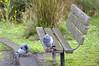 Love birds - HBM! (JSB PHOTOGRAPHS) Tags: jsb336700001 nikon altonbakerpark eugeneoregon d3 28300mm pigeon benchmonday bench hbm