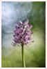 Diaplan 3 (Outlaw Pete 65) Tags: macro closeup fiore flower orchidea orchid colori colours natura nature luce light fujixe3 meyeroptikdiaplan80mm collebeato lombardia italia