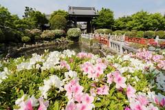 Azalea in Kyoto (Teruhide Tomori) Tags: flower azalea spring temple kyoto japan japon rakuhoku myomanji garden 妙満寺 ツツジ 京都 洛北 花 春 寺院 庭園 日本 風景 landscape