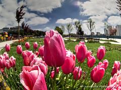 Tulip (`ARroWCoLT) Tags: tulip lale flower hdr clouds fisheye 10mm samsungcamera