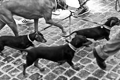 marching (ROSS HONG KONG) Tags: march dog dogs leash walk pets cobblestones rome italy spanishsteps black white noir blanc monochrome leica noctilux 50mm 095 street streetphoto blackandwhite m8