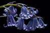 Ringing In A New Week (AnyMotion) Tags: spanishbluebell spanischeshasenglöckchen hyacinthoideshispanica spring frühling primavera printemps 2018 blossom blüte plants pflanzen anymotion macro makro nature natur blumen floral flowers frankfurt colours colors farben blue blau onblack 6d canoneos6d makroaufnahmen ngc npc