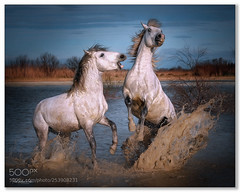 Quick Reaction ..... (KevinBJensen) Tags: france camargue horses action animals nature fuji xh1 55200mm paul keates risu