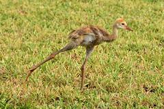 Sandhill Cranes (M. Coppola) Tags: egretglade pasco florida adult juvenile antigonecanadensis sandhillcrane