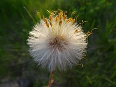 Huflattich (isco786) Tags: huflattich wildpflanzen wildblumen heilpflanzen wiesenpflanzen wiesen macro makro