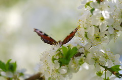 Silhouette (Baubec Izzet) Tags: baubecizzet pentax bokeh flower blossom spring nature
