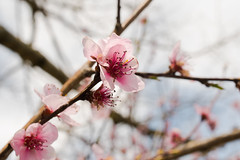 SPRING! (riqwammy) Tags: tree flower blossom branches sky pink soft nikon d750 outside outdoors hike walk recreation