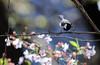 2018さくら 18 (sunuq) Tags: canon eos 5dsr ef300mmf4lisusm ef300mm llens さくら 桜 2018 東京 日本 japan tokyo blossom flower bird 野鳥 ボケ bokeh シジュウカラ