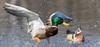 Splashing about (tsandra996) Tags: splash nature mallard wood duck