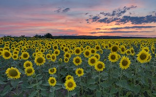 *Sunflower field at dusk*
