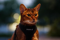 Lizzie in the dark (DizzieMizzieLizzie) Tags: abyssinian aby lizzie dizziemizzielizzie portrait cat feline gato gatto katt katze kot meow pisica sony neko gatos chat a6500 fe ilce6500 ilce 2018 bokeh pet animal dof sigma f14 dg hsm art 018 50mm summer night square hot heat dark evening
