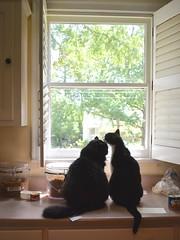 Mutual grooming (rootcrop54) Tags: batman male tuxedo idaho tuxedoes kitchen counter window grooming friends buddies neko macska kedi 猫 kočka kissa γάτα köttur kucing gatto 고양이 kaķis katė katt katze katzen kot кошка mačka gatos maček kitteh chat ネコ