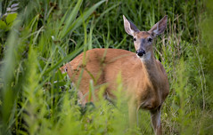 24 hour anxiety, I'd hate to be a deer with so many animals higher on the food chain. White Tail deer, Toronto Ontario (mpmark) Tags: deer whitetail nature 5dmkiv canon100400ii wildlife urbanwildlife lovenature