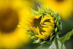 One more day.... (Koku85) Tags: sunflower blossom flower bloom macro