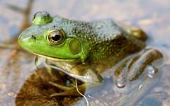American Bullfrog (TomIrwinDigital) Tags: macro ontario wildlife shoreline lake